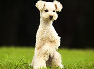 草地奔跑的白色巨型貴賓犬圖片