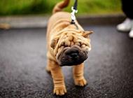 搞笑賣萌的小沙皮狗圖片