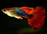 純種的鳳尾魚圖片小巧玲瓏