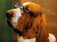 纯种巴吉度犬搞笑帅气图片写真