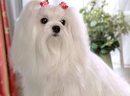 玩具犬马尔济斯犬高清晰壁纸