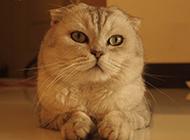 純種折耳貓趴在地上圖片