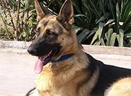 兇猛霸氣的黑狼犬圖片