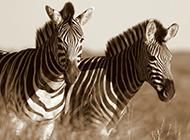 草原自在漫步的黑白斑马图片