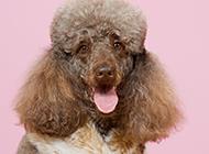 高貴的巨型貴賓犬純種圖片