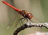 最出色的飞行员蜻蜓摄影高清图集