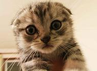 超萌蘇格蘭折耳貓圖片壁紙