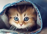 超可爱波斯猫探出脑袋图片
