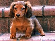 可爱精巧的迷你腊肠犬图片
