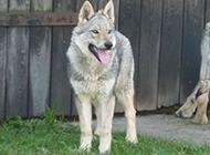捷克狼犬帥氣的幼犬圖片