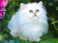 长毛白色波斯猫唯美壁纸图片