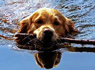 纯种金毛寻回犬狗狗游泳图片