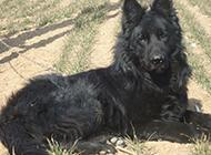 大黑熊犬野外休息圖片