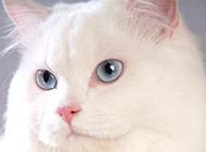 藍眼白貓波絲貓萌翻眾人