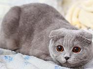 可愛的純灰色折耳貓圖片