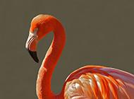 我国观赏鸟类火烈鸟摄影图片