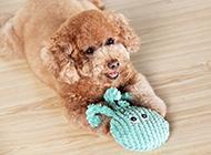 頑皮愛鬧的玩具貴賓犬圖片