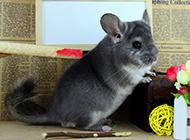 灰栗鼠可爱写真图片