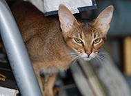 眼神犀利的埃及貓圖片