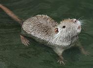 會游泳的小海貍鼠圖片