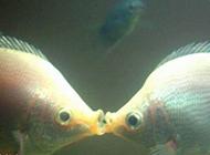 两条接吻鱼接吻图片