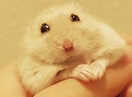 握在手里的白布丁倉鼠圖片