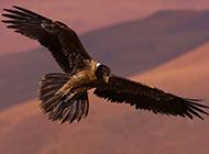 在空中飛翔的老鷹圖片欣賞