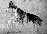 意大利靈緹犬歡快奔跑圖片
