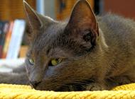 眼神傲嬌的孟買貓圖片