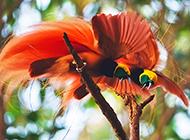 開屏的天堂極樂鳥圖片