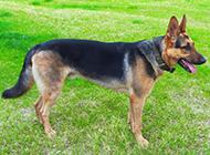 纯种黑背昆明犬帅气模样图片