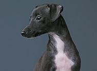 意大利靈緹犬眼神機靈可愛圖片