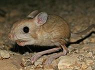 活泼机灵的三趾跳鼠图片