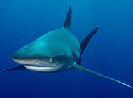 深海鯊魚高清特寫圖片