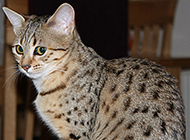 埃及貓沉穩老實圖片