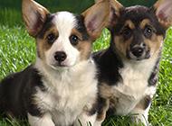 兩只超可愛的小柯基犬圖片