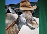 南非家庭养长颈鹿当宠物