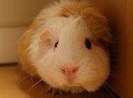 可爱胆小的豚鼠图片精选