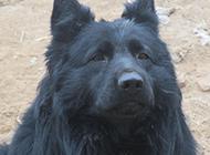 比利時黑熊犬真誠眼神圖片