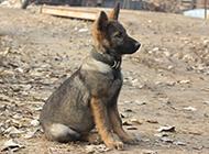 东德牧羊犬听话乖巧的幼犬图片