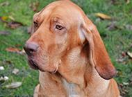英國尋血獵犬憂郁眼神特寫圖片