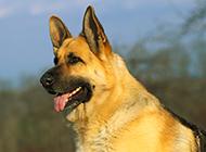 高大雄健的純種德國牧羊犬圖片