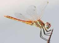 自然界精灵红蜻蜓栖息枝头美景