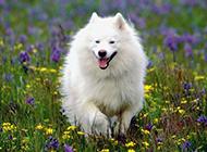 白色薩摩犬春天公園歡樂玩耍圖片