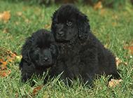 紐芬蘭犬黑色幼犬草地可愛寫真圖片