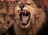 威武凶猛的狮子图片赏析