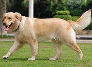 漂亮的金毛寻回犬公园漫步图片