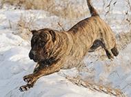 加納利犬雪地霸氣玩耍圖片