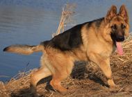 短毛德国牧羊犬悠闲漫步图片