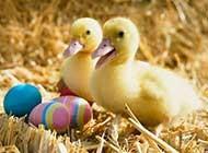 一群小鸭子生活高清写真